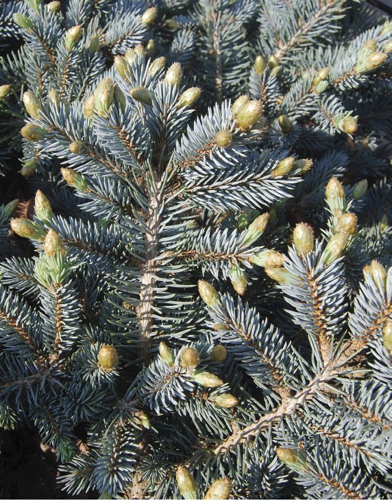 Click here to check out our Evergreens – Abies, Chamaecyparis, Juniperus, Larix, Microbiota, Picea, Metasequoia, Pinus, Pseudotsuga, Taxodium, Taxus, Thuja and Tsuga.